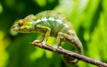 Things You Should Know Before You Get A Pet Chameleon